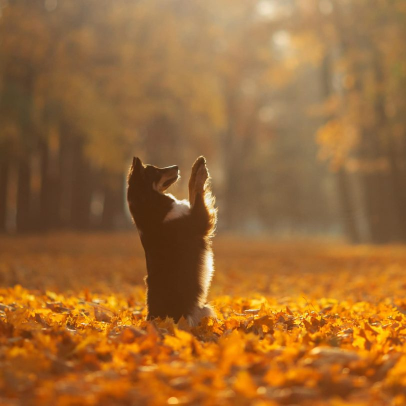 dog in a bed of autumn leaves reaching for the sky