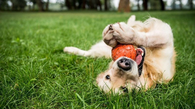 Pet Friendly marketing - Dog with a ball upside down