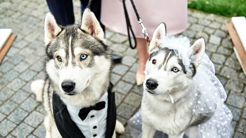 married huskies - pet friendly hotel and lodging marketing ideas