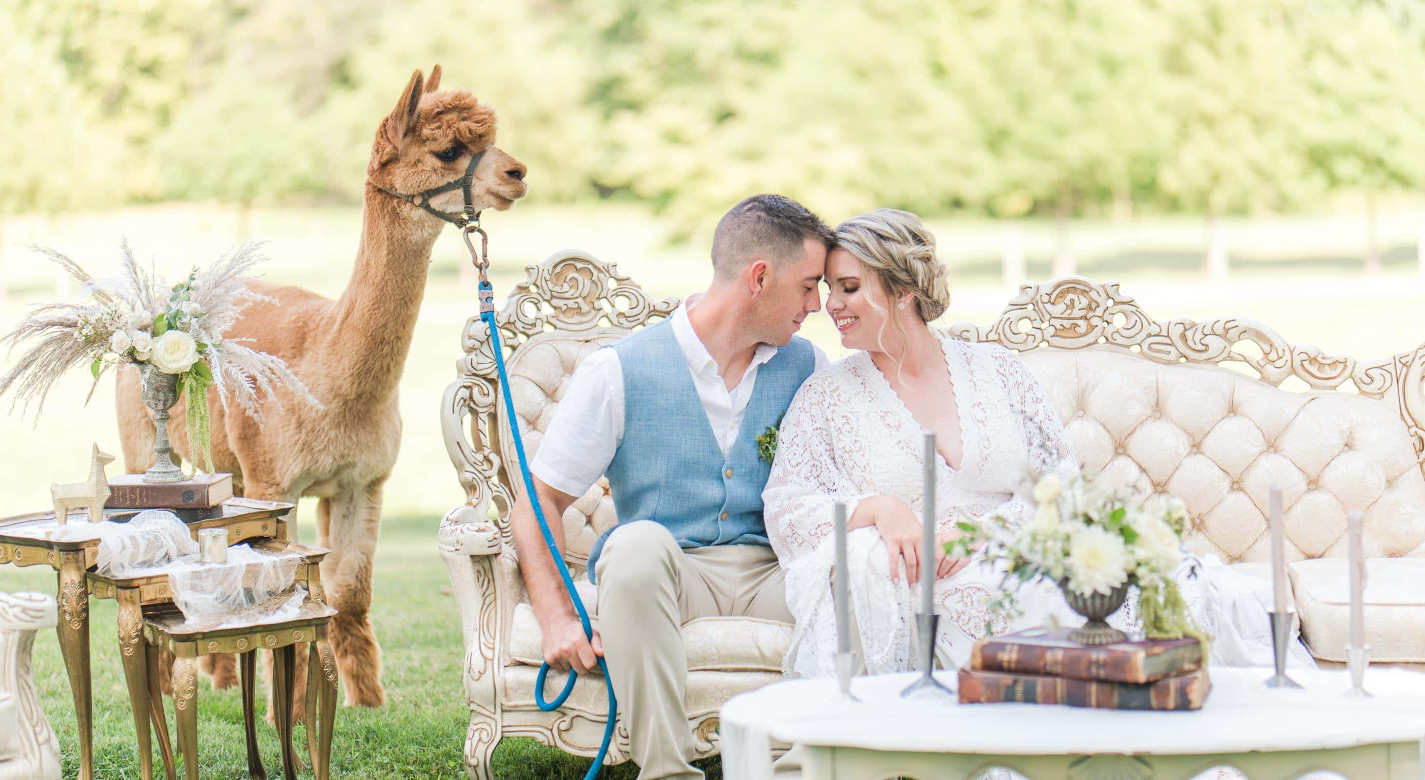 wedding couple seated on a couch outdoor next to an alpaca